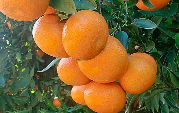 Naranjas de mesa o zumo. Caja de 16 Kg